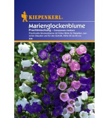 Campanule Médium, des bouquets de clochettes