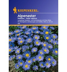 Aster des Alpes bleu