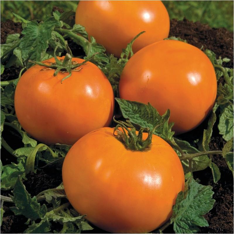 Tomate originale Orange Queen