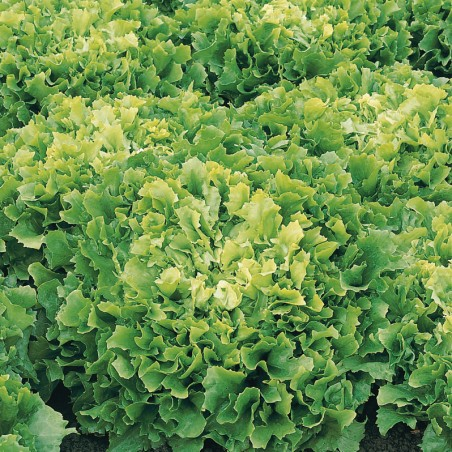 CHICOREE scarole DIVA - Graines enrobées