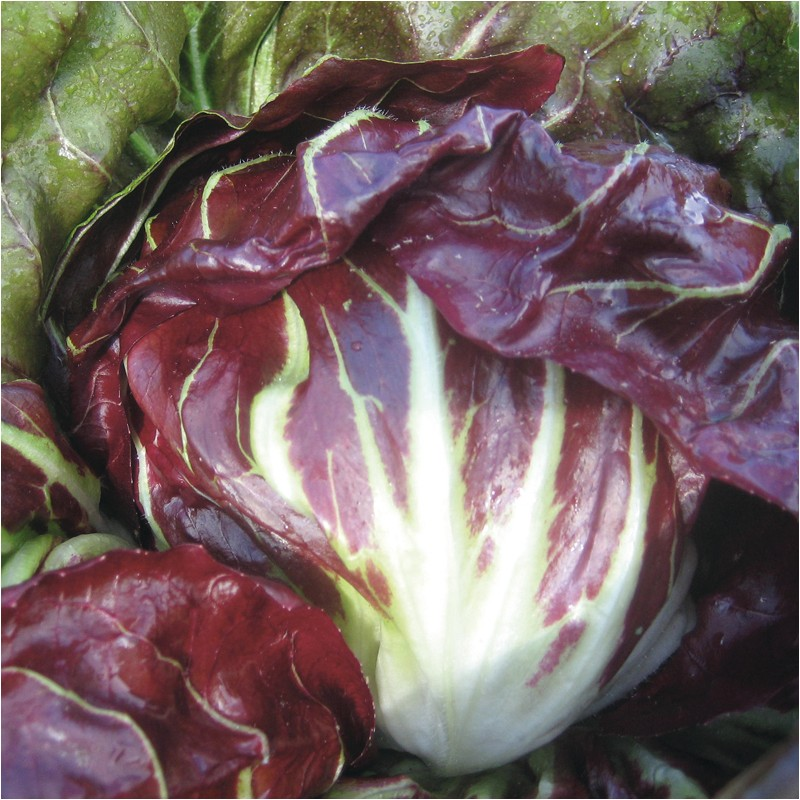 CHICOREE sauvage rouge LEONARDO - Graines enrobées