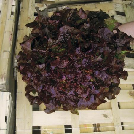 LAITUE feuille de chêne rouge BELLINO - Graines enrobées